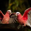 galah couple, australia
