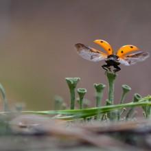 lady bug taking off