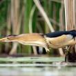 little bittern bird