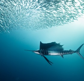 sailfish and bait fish