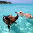 swimming pigs, bahamas