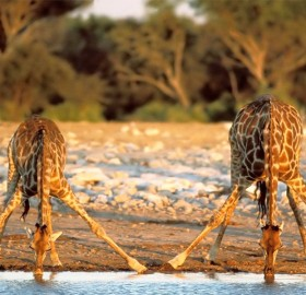 two giraffes drinking water