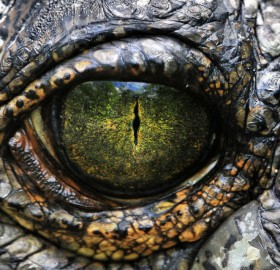 yellow eye of nile crocodile