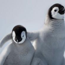 emperor penguin youth hugging