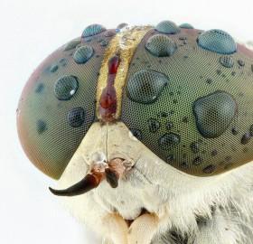 horsefly close-Up