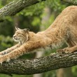 lynx stretching on a tree
