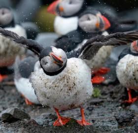 puffin bird shakes off the rain