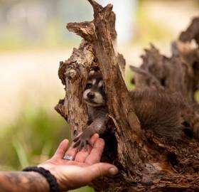 raccoon meets human