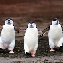 three chinstrap penguins walking