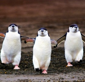 three chinstrap penguins walking