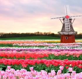 traditional windmill in tulip field