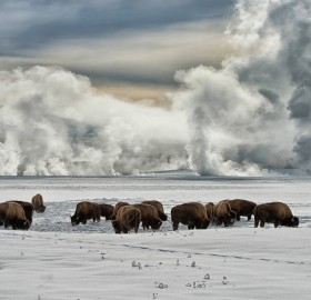 american bison wintering at yellowstone national park