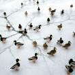 ducks on frozen lake