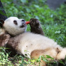 giant panda having a lunch break