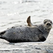 grey seal says hello