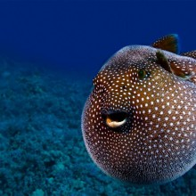 guineafowl pufferfish, hawaii