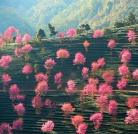 pink trees on the hillsides of china