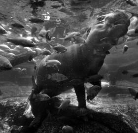 underwater hippopotamus