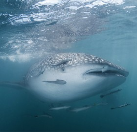 whale shark in the gulf
