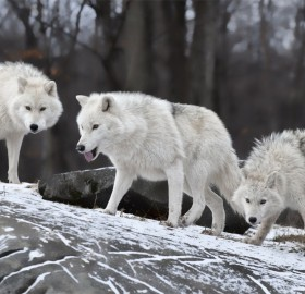 white wolf pack