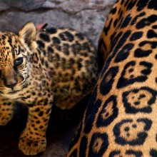 leopard baby and mother