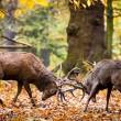locking antlers