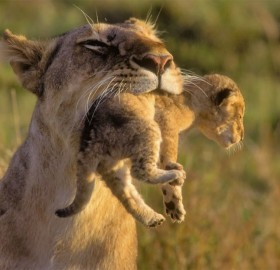 mother lion carrying her cub