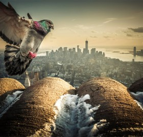 pigeon from new york