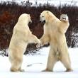 polar bears greeting each other