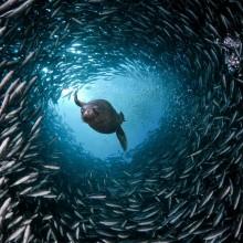 sea lion swim through a tunnel of fish
