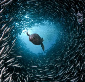 sea lion swim through a tunnel of fish