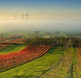 wine yard in the mist