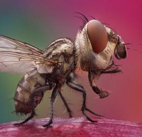 big head fly