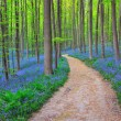 bluebells in halle`s forest, belgium