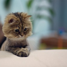 "cute ""mini lion"" kitten"