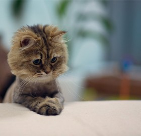 "cute ""mini lion"" kitten"