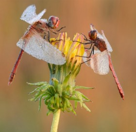 red dragons on yellow flower