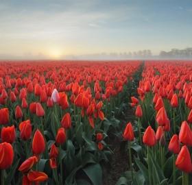 sea of tulips, holland