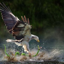 taken in right moment, eagle catches snake