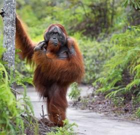 the great thinker, orangutan