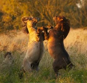wild konik horses, holland