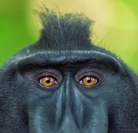 crested macaque from indonesia