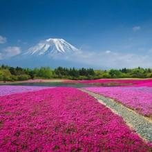 fields of flowers bellow mount fuji