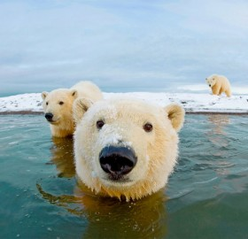 hello, we are polar bears
