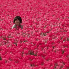 Little Girl In Tulip Fields, Holland