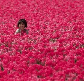 Little Girl In Tulip Fields, Holland