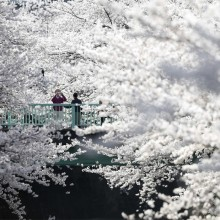 tokyo in sea of cherry blossoms