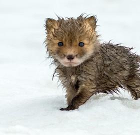 cute wet fox cub