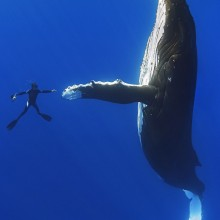 diver shake hands with a giant whale