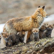 fox family gathering